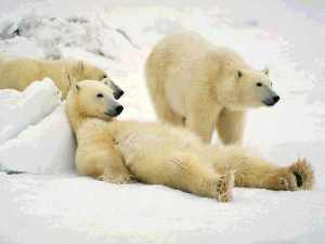 polar-bears