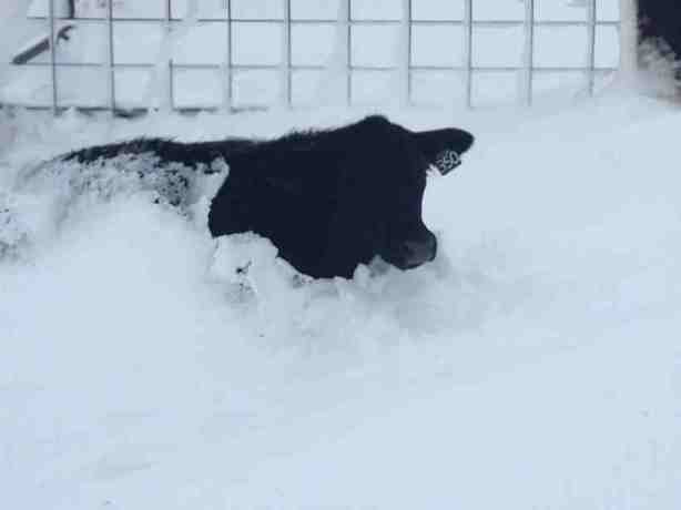 A young steer struggles in deep snow in Dakota.