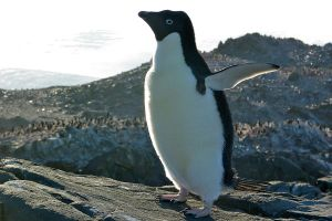 Adélie penguin in Antarctica [Wikipedia]