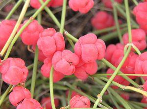 Ephedra cones [image: Wikipedia]