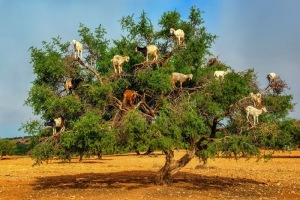 goats-argan-trees