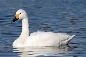 Bewick swan [image credit: Maga-chan / Wikipedia]