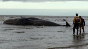 Struggling whale [image credit: BBC]