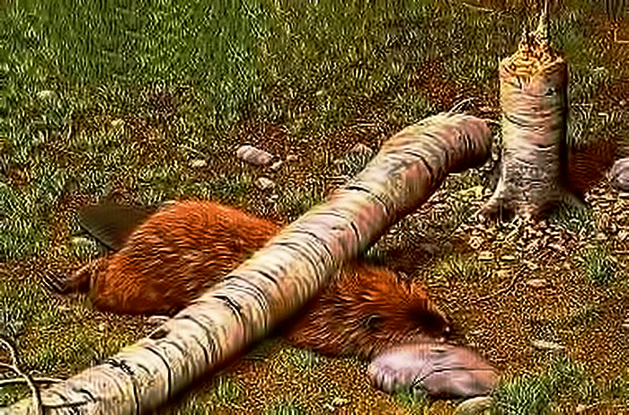pyrrhic-beaver