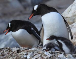Gentoo penguins at Palmer Archipelago, off the Antarctic Peninsula [image credit: Liam Quinn / Wikipedia]
