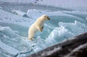 A polar bear inspects a US submarine near the North Pole [credit: Wikipedia]