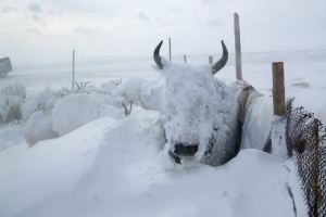 Another tough winter for Mongolian livestock? [image credit: eurasianet.org]