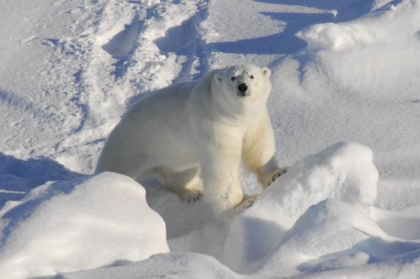 East Greenland Scorsby Sound March 2011 on Kap Tobin_Rune Dietz_press photo